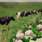 Azory krávy