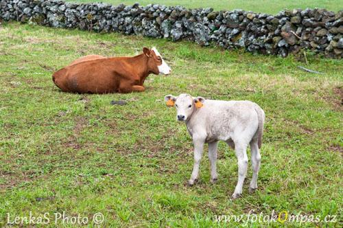 Krávy na São Jorge