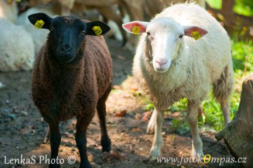 Valašské ovce