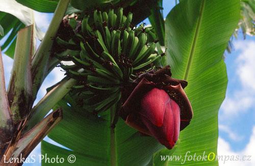Květ banánovníku
