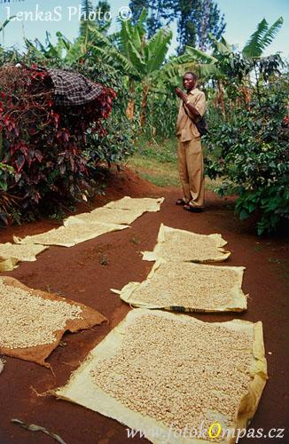 Produkce kávy na Kilimandžáru